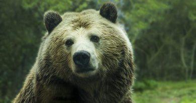 A medvéket etető személyek megbírságolását helyezte kilátásba Costel Alexe környezetvédelmi miniszter
