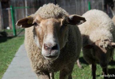 Hazavághatja a juhtenyésztést a súrlókór – Az afrikai sertéspestis után a juhokat tizedelheti a veszélyes idegrendszeri betegség